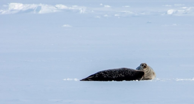 Ringsel, Svalbard