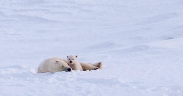 Isbjørn på Svalbard